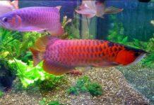 Cara Merawat Ikan Arwana